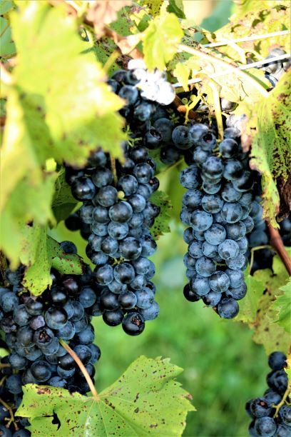 Finger Lakes grapes